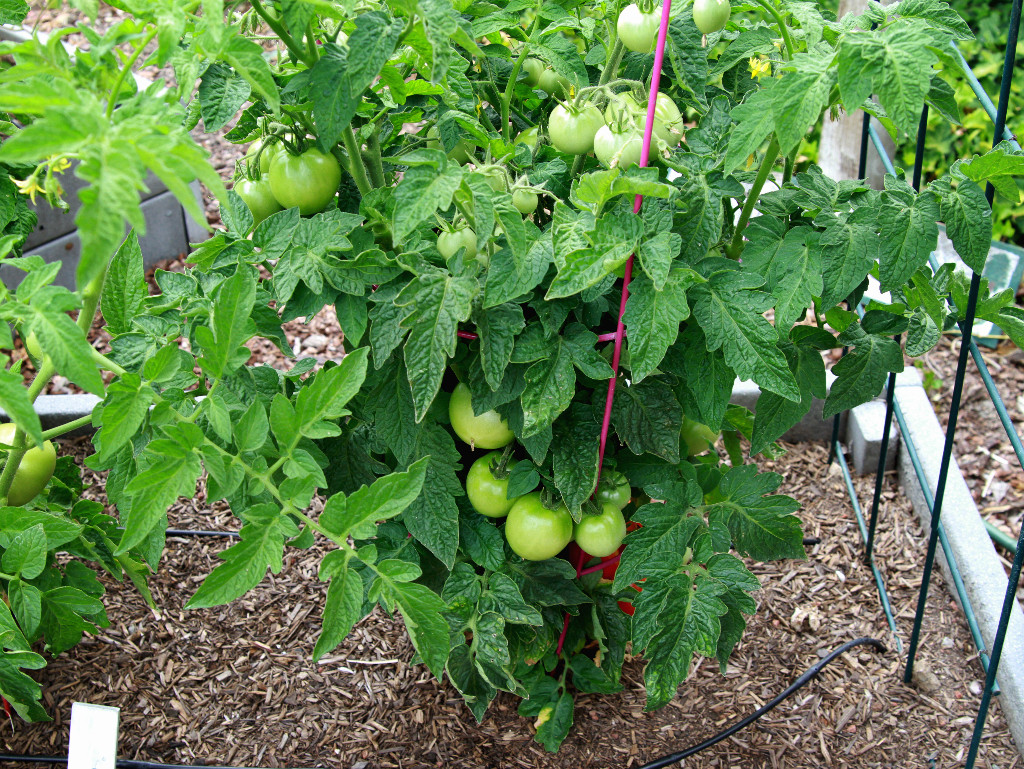 Tomatoes for raised beds containers the radish patch - Seven tricks for healthier potted plants ...