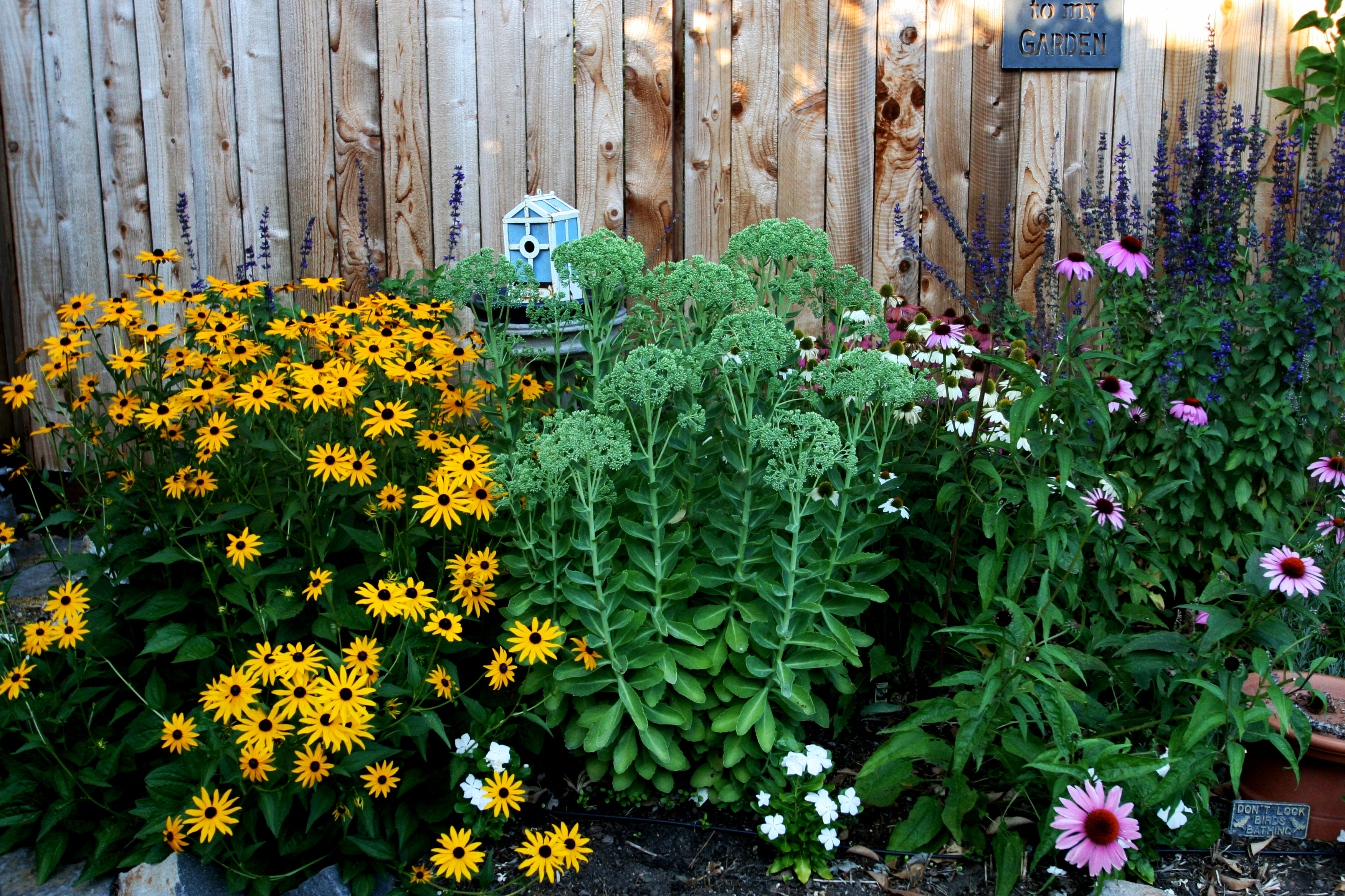 How to plant a perennial flower border the radish patch lavender provence salvia blue spires and my favorite echinacea pow wow wild berry now 18 months later its full of flowers fragrance and bees mightylinksfo