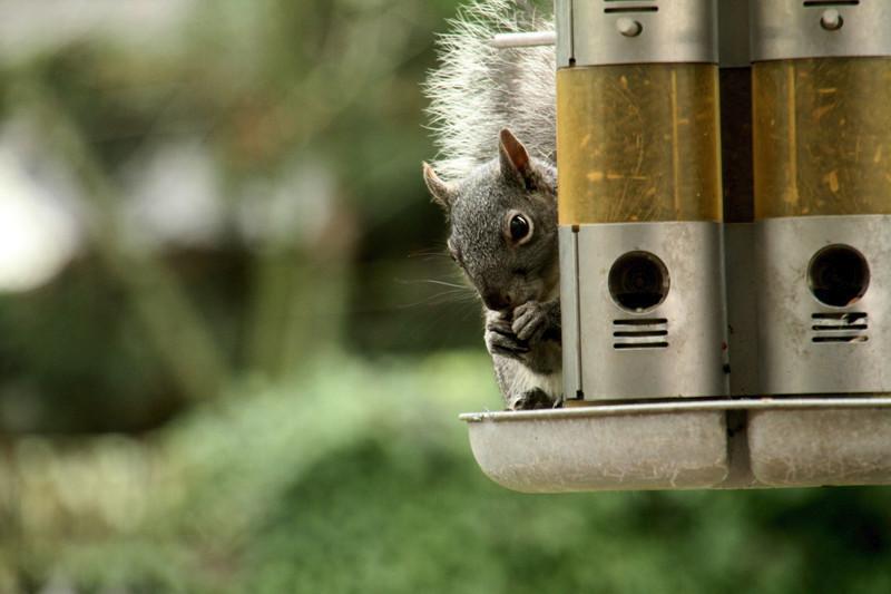 IMG_1753 web squirrel munching seed